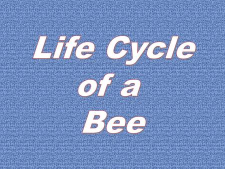 The Life Cycle of a Bee Because bees are insects they have four stages to their life cycle. The stages are, egg, larva, pupa and adult. The life cycle.