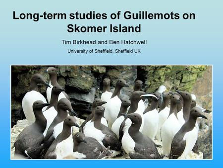 Long-term studies of Guillemots on Skomer Island Tim Birkhead and Ben Hatchwell University of Sheffield, Sheffield UK.