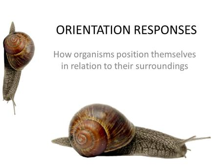 ORIENTATION RESPONSES How organisms position themselves in relation to their surroundings.