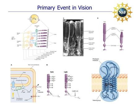 Primary Event in Vision. Ultrafast Photo-Isomerization Mechanism.
