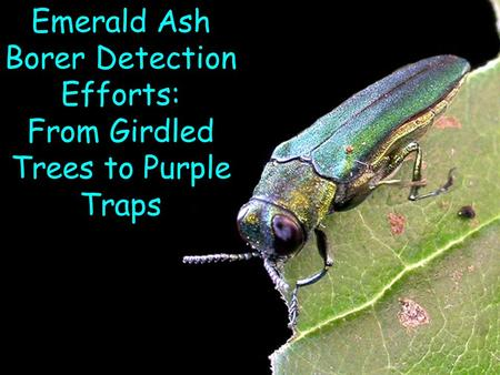 Emerald Ash Borer Detection Efforts: From Girdled Trees to Purple Traps.