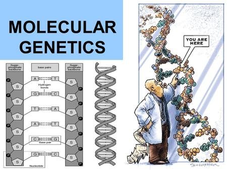 MOLECULAR GENETICS. YOU MUST KNOW… THE STRUCTURE OF DNA THE MAJOR STEPS TO REPLICATION THE DIFFERENCE BETWEEN REPLICATION, TRANSCRIPTION, AND TRANSLATION.