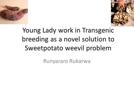 Young Lady work in Transgenic breeding as a novel solution to Sweetpotato weevil problem Runyararo Rukarwa.