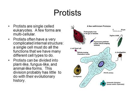 Protists Protists are single celled eukaryotes. A few forms are multi-cellular. Protists often have a very complicated internal structure: a single cell.