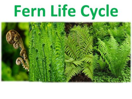 Fern Life Cycle Alternation of generations Defined: Plants alternate between a diploid organism and a haploid organism.