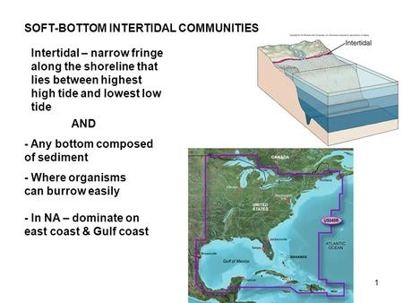 1 SOFT-BOTTOM INTERTIDAL COMMUNITIES - Any bottom composed of sediment - Where organisms can burrow easily - In NA – dominate on east coast & Gulf coast.