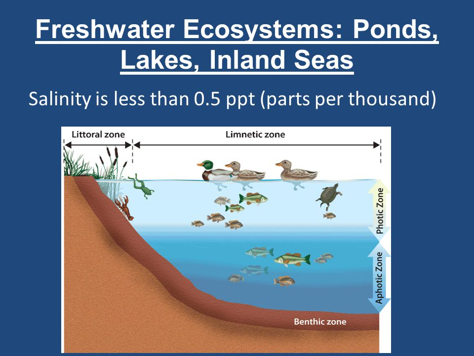 Freshwater Ecosystems: Wetlands Areas of land flooded with water at least part of the year Include freshwater marshes, swamps, bogs, and fens