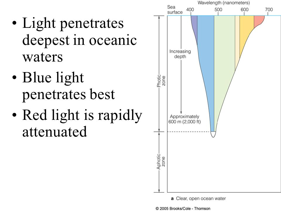 Light penetration is shallower in plankton-rich coastal waters Phytoplankton absorb blue light for photosynthesis Water absorbs red light Coastal ocean looks green