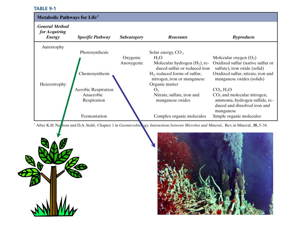 Symbioses Mutualism – both organisms benefit
