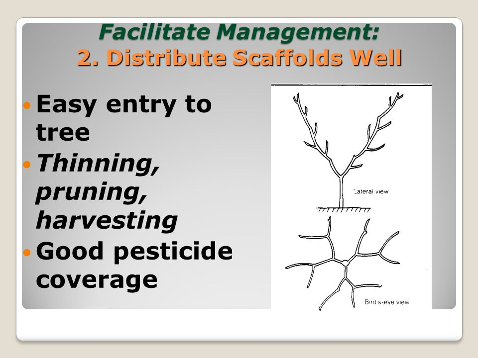 Facilitate Management: 3. Tree Uniformity Easier to train employees Mechanization possible
