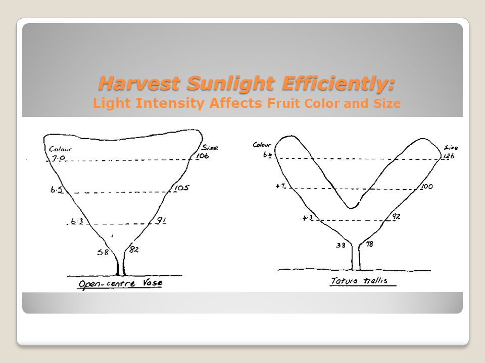 Harvest Sunlight Efficiently: Light Intensity Affects Fruit Color and Size