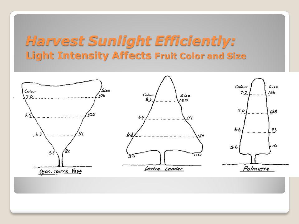Harvest Sunlight Efficiently: Light Intensity and Fruit Size Harvest Sunlight Efficiently: Light Intensity and Fruit Size % Light PenetrationFruit size (grams)