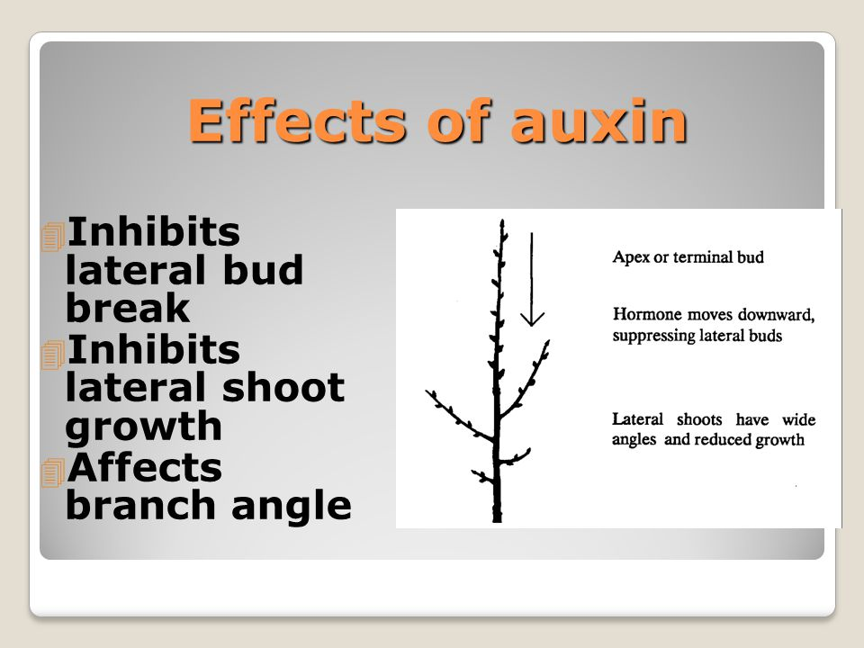 Pruning Remove the Source of Auxin Heading Cut Heading Cut 4 Remove part of the branch 4 Stimulate bud break near cut 4 Stimulate localized branching