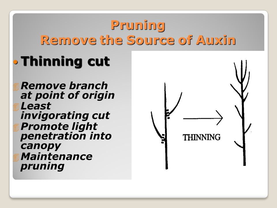 Bend Branch Towards Horizontal Decreases amount of auxin moving from tip Increase lateral branching Decrease terminal growth Bend to a 45 to 60 degree angle