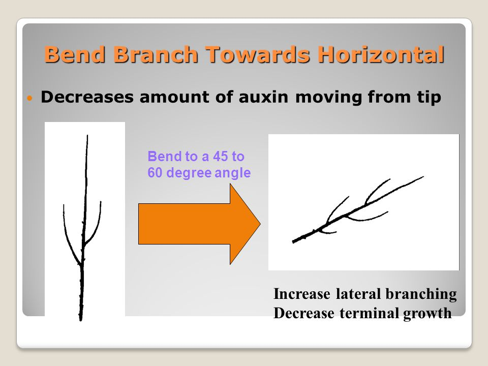 Bend Branch Towards Horizontal Decreases amount of auxin moving from tip Increase lateral branching Buds at highest point break Decrease terminal growth Bend below the horizontal