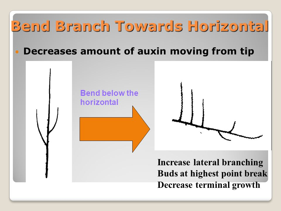 Timing of pruning Dormant pruning ◦Most common approach Summer pruning ◦Works well in combination with dormant pruning ◦Open up the tree to allow light into center