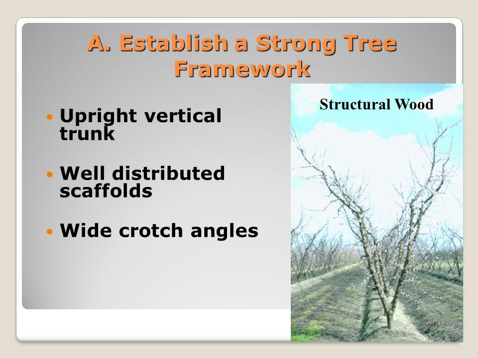 Establish a Strong Tree Framework Vertical trunk Well Distributed Scaffolds