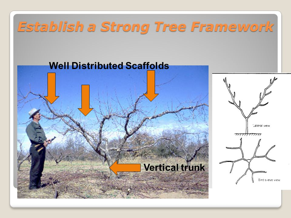 Establish a Strong Tree Framework Wide branch angles are stronger Narrow angles are weak and increase shading inside canopy