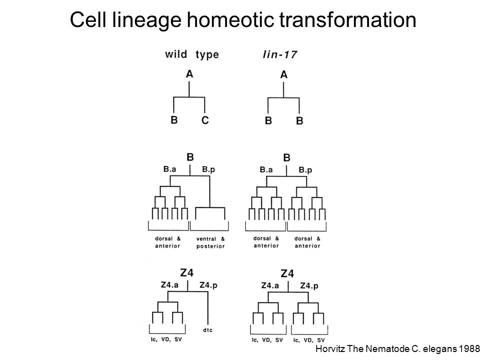 Homeotic transformation of several lineages Horvitz The Nematode C. elegans 1988
