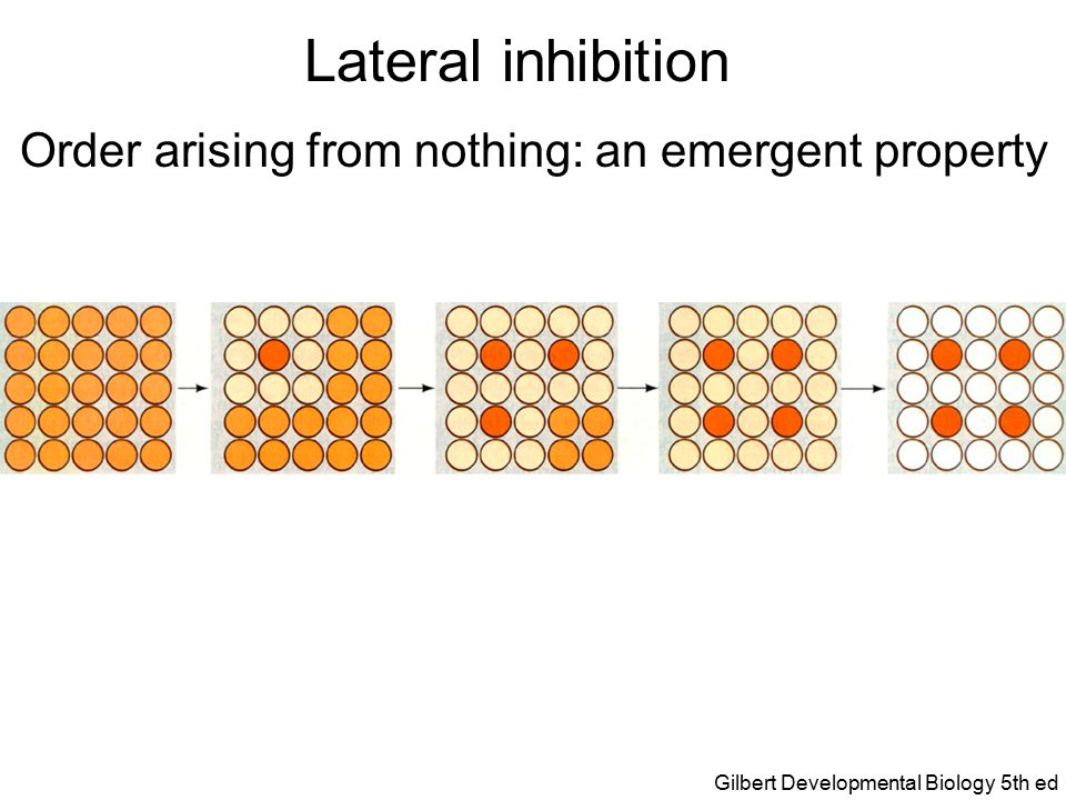 Lateral inhibition Order arising from nothing: an emergent property Gilbert Developmental Biology 5th ed