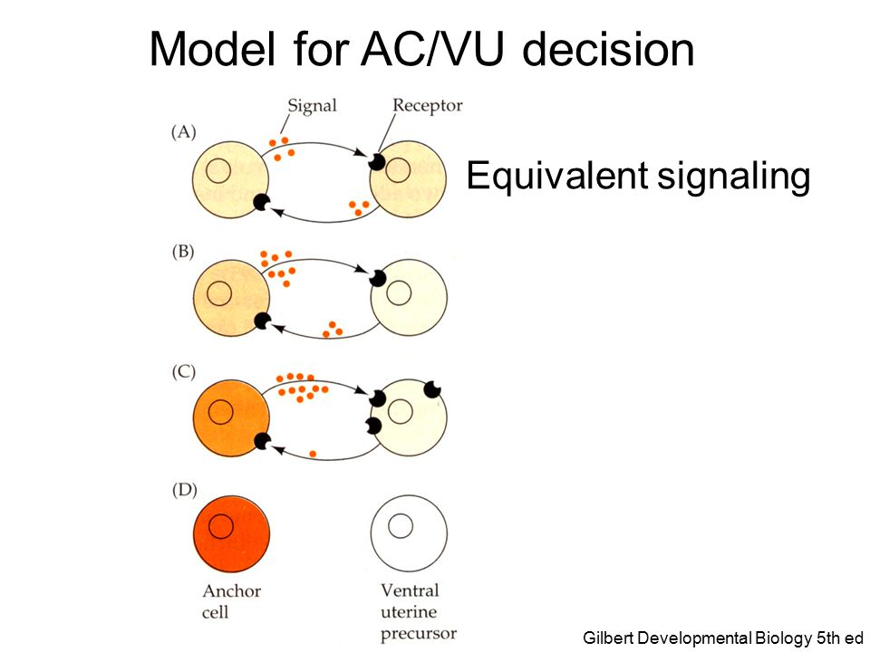 Model for AC/VU decision Stochastic difference in signaling Gilbert Developmental Biology 5th ed