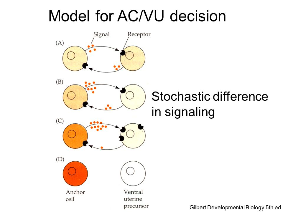 Model for AC/VU decision Differential expression of receptor and ligand Gilbert Developmental Biology 5th ed