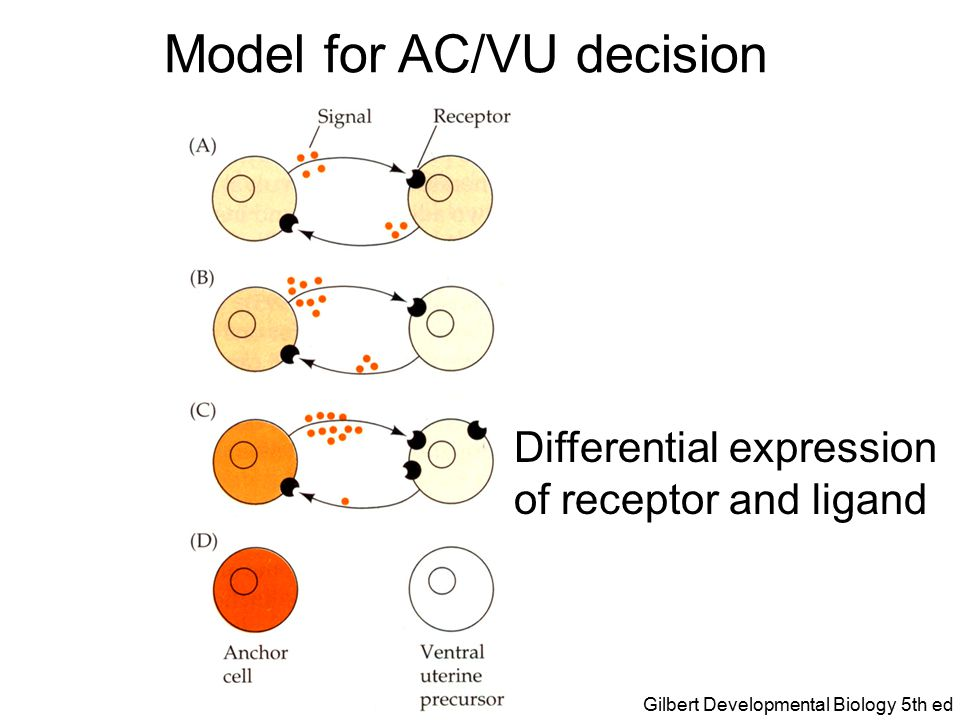 Model for AC/VU decision Determined cell fates Gilbert Developmental Biology 5th ed