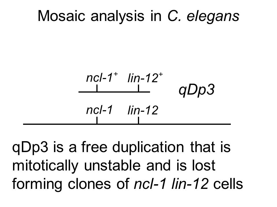 Mosaic analysis in C. elegans ncl-1 + ncl-1 In ncl-1 cells, the nucleolus is large.