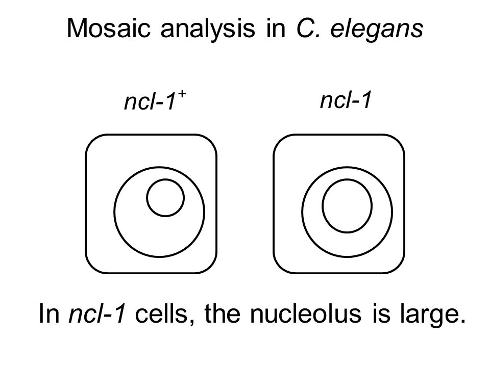 Mosaic analysis in C. elegans ncl-1 lin-12 cell Seydoux and Greenwald Cell 57, 1237