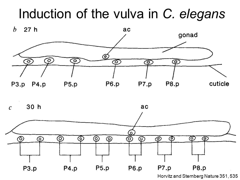 Induction of the vulva in C. elegans Horvitz and Sternberg Nature 351, 535
