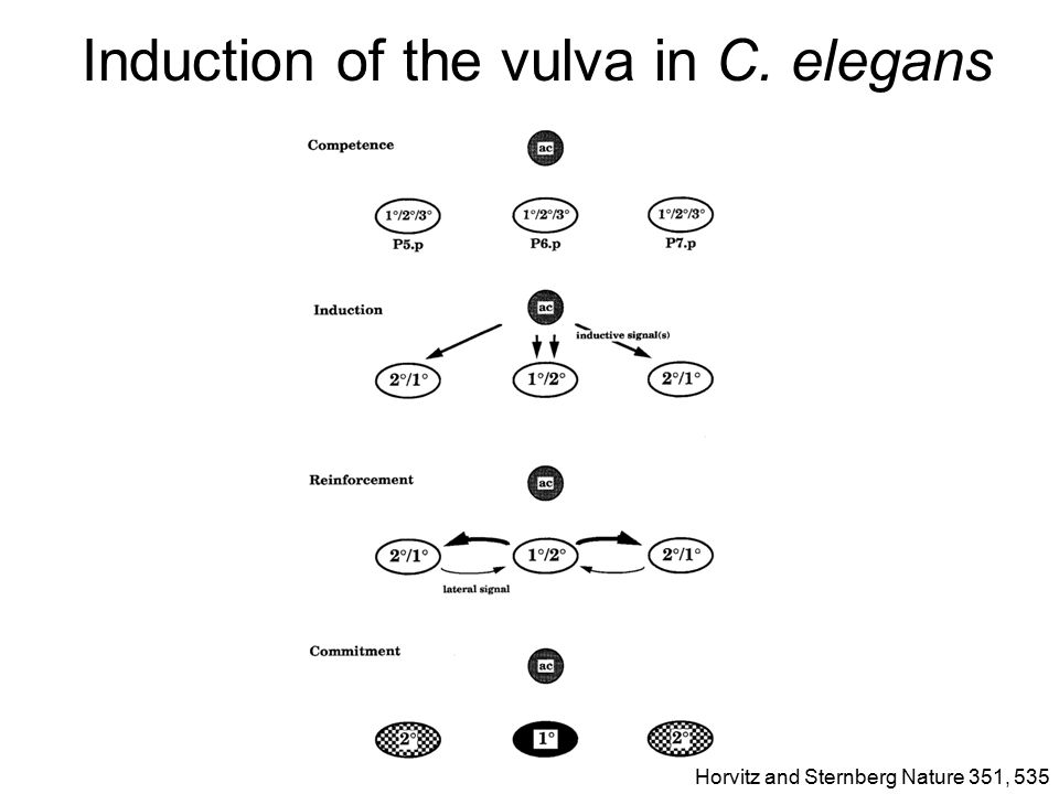 Induction of the vulva in C.