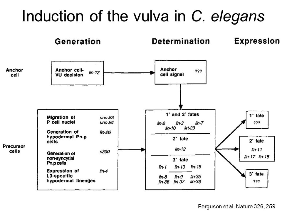 Induction of the vulva in C. elegans Wormbase