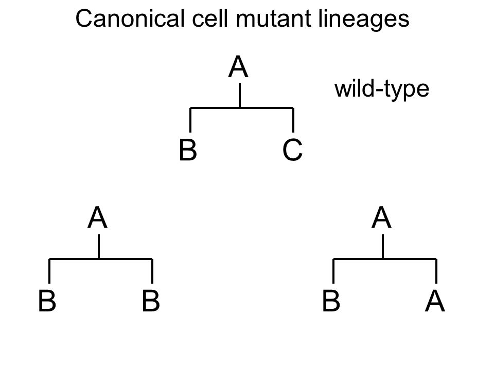 Canonical cell mutant lineages A BC A BA A BB wild-type Regeneration of the mother cell fate: stem cell like
