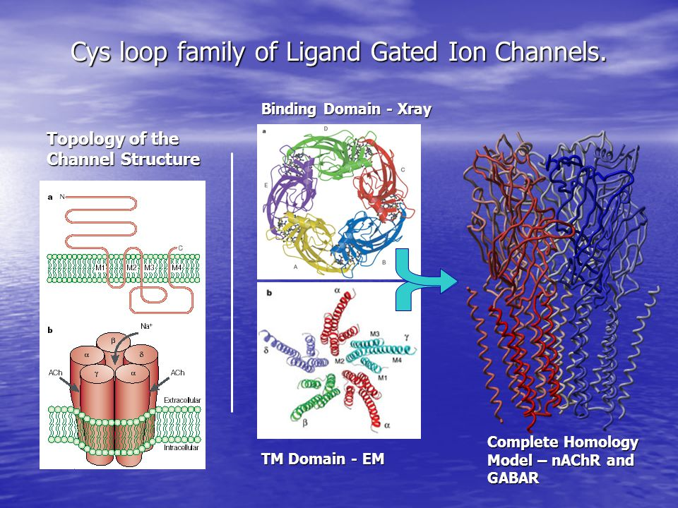 Cys loop family of Ligand Gated Ion Channels.