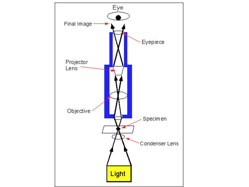 e Lab Concluding Questions 1.State two procedures which should be used to properly handle a light microscope.