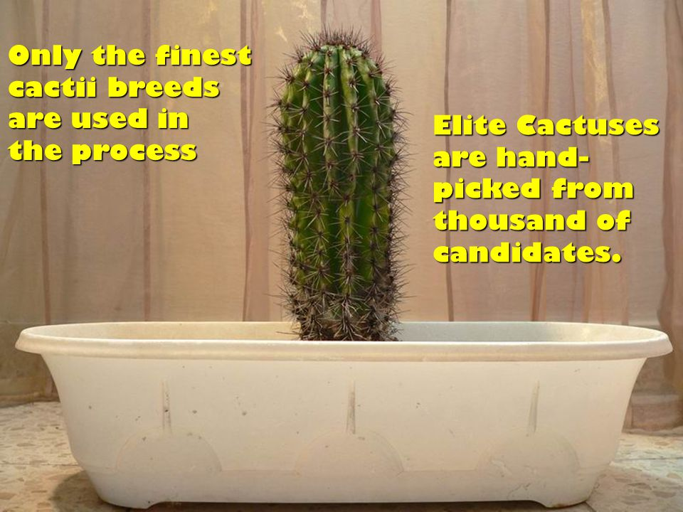 When a cactus has been chosen, a special milking equipment is utilized to obtain the sweet cactus juice.