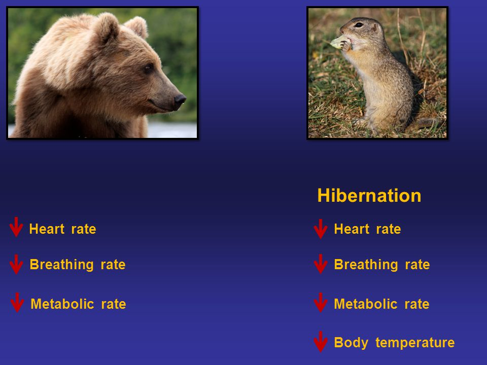 Hibernation Heart rate Metabolic rate Body temperature Breathing rate A LOT !A LITTLE Only about 10 degrees F Body temperature Heart rate Breathing rate Metabolic rate