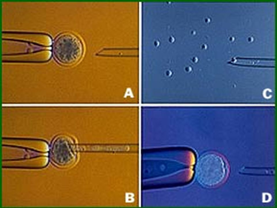 Between fertilization and implantation embryo survives off of food stored in the egg.
