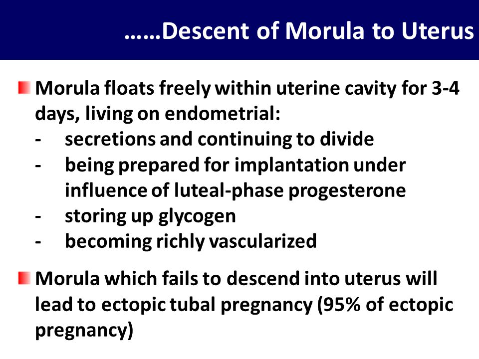 Implantation ± 1 week after ovulation, morula has descended into uterus and continued to proliferate and differentiate into blastocyst which capable to implantation Blastocyst is consisted of 2 parts: inner cell mass (which become fetus) and trophoblast (outermost layer of blastocyst) Trophoblast accomplish implantation, after which develops into fetal portion of placenta When blastocyst is ready to implant, its surface becomes sticky, by the time endometrium is ready to accept the early embryo