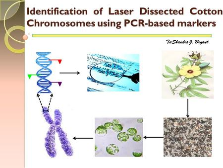 Identification of Laser Dissected Cotton Chromosomes using PCR-based markers TaShundra J. Bryant.