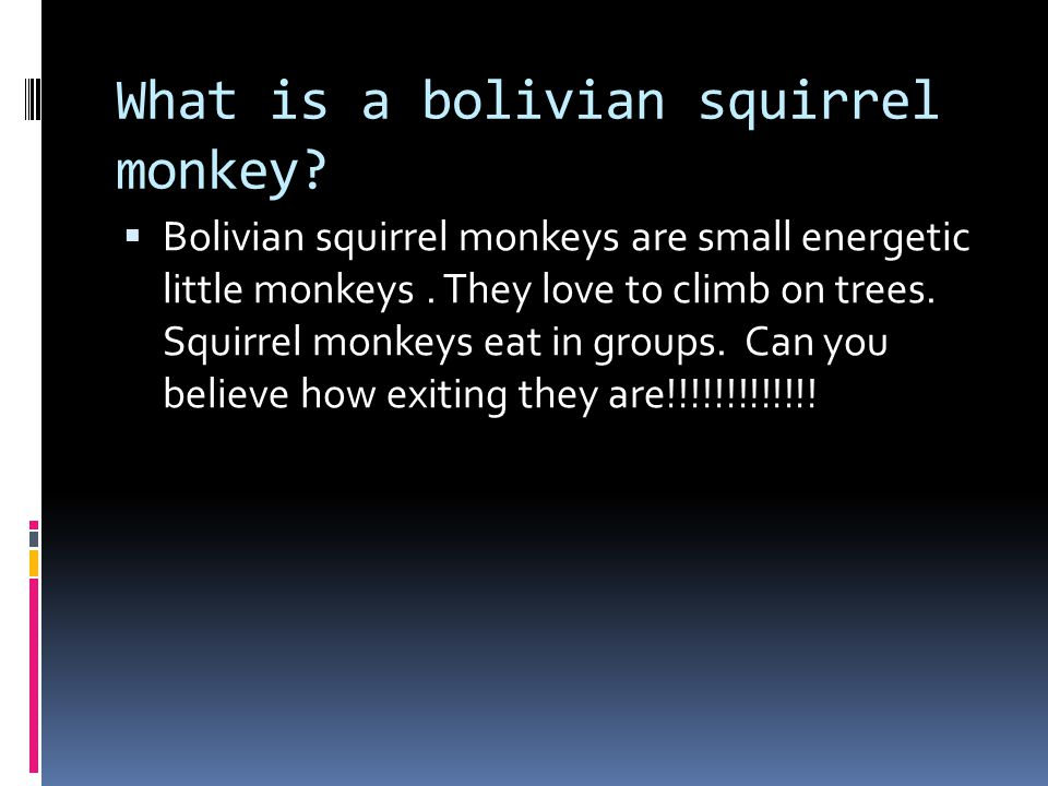 What is a bolivian squirrel monkey. Bolivian squirrel monkeys are small energetic little monkeys.