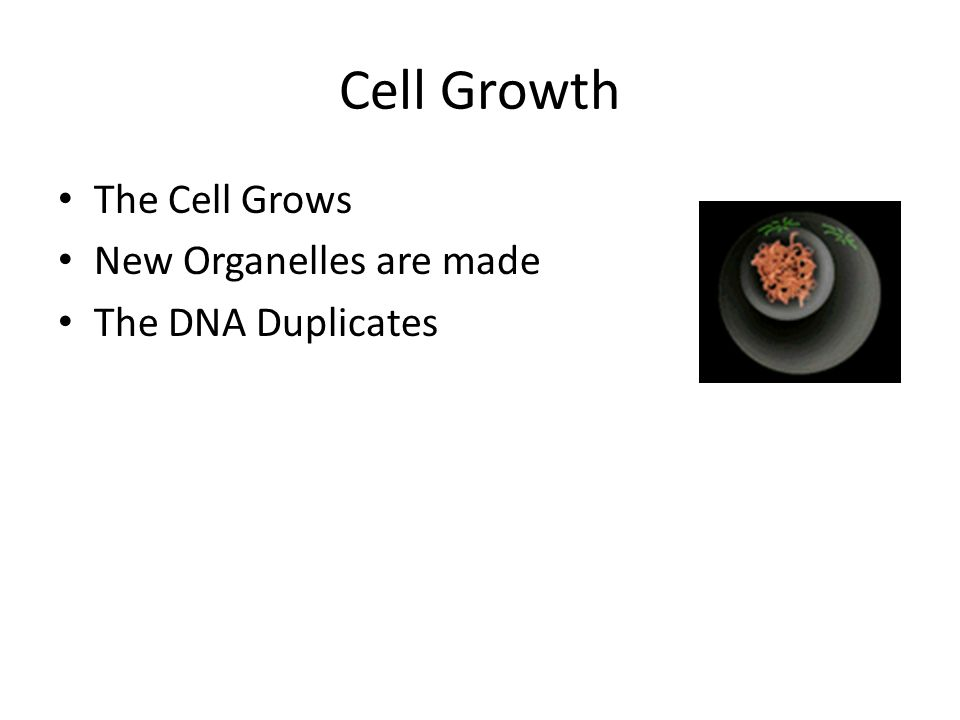 Cell Growth The Cell Grows New Organelles are made The DNA Duplicates Interphase!