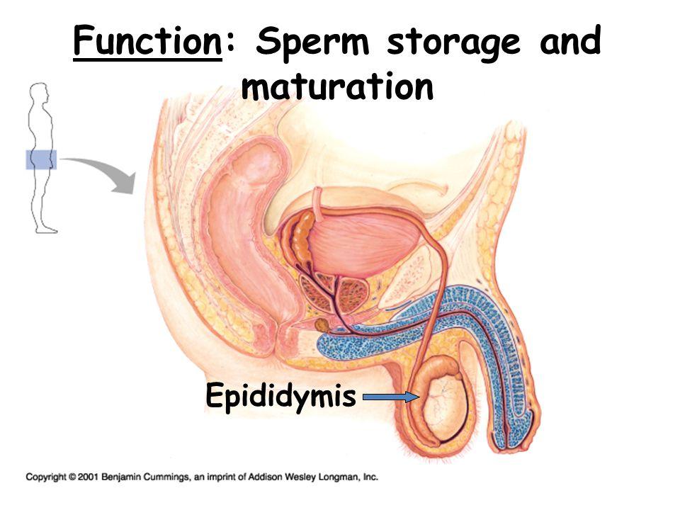 Function: Transport sperm to urethra Vas Deferens