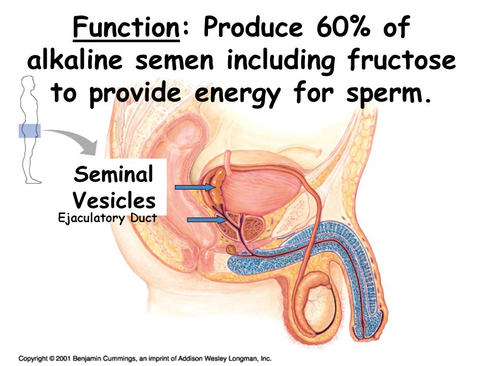 Function: Produces up to 20% of the semen & includes nutrients & enzymes to activate sperm, alkaline, opaque whitish.