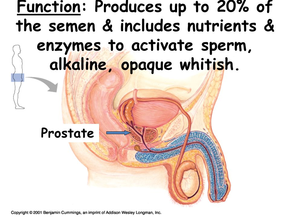 Function: Secretes mucous & alkaline buffers to neutralize acidic conditions of urethra.