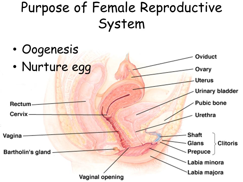 Function: Receives penis & semen and serves as birth canal & passage for menstrual flow. Vagina