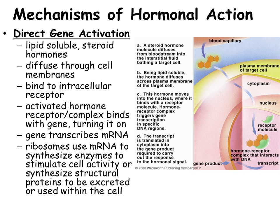 Hormone Sources & Functions Gonadotropin-releasing Hormone (GnRH): – Source:Hypothalamus –Targets & Functions: Females & Males - Anterior Pituitary –Stimulates the production of Follicle Stimulating Hormone (FSH) & Leutinizing Hormone (LH) –Regulates the release of FSH & LH by the anterior pituitary gland