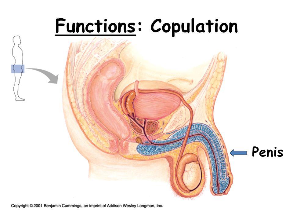 Functions: Transport urine & semen Urethra Bladder