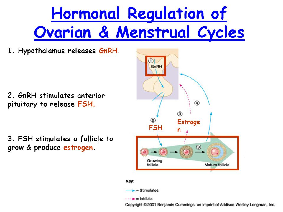 Hormonal Regulation of Menstrual & Ovarian Cycles FSH Estroge n 4.