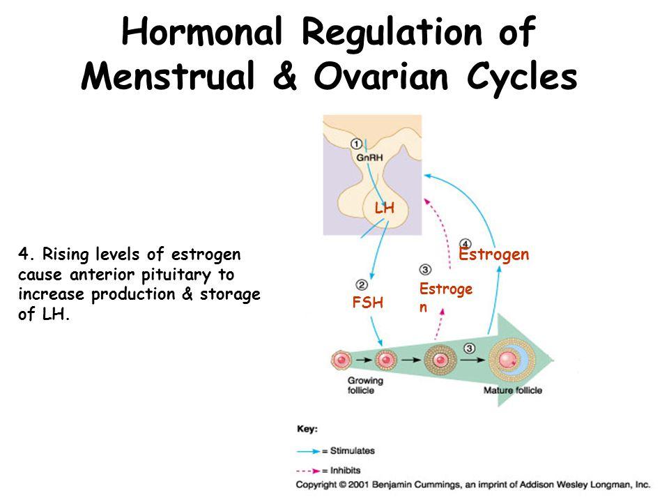 Hormonal Regulation of Menstrual & Ovarian Cycles 5.